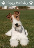 Wire Haired Fox Terrier-Happy Birthday (No Theme)